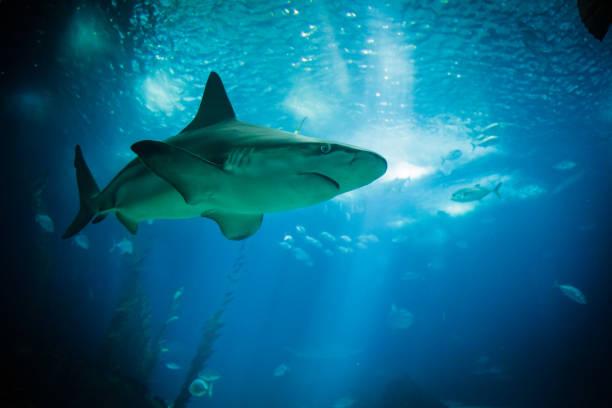 Shark swimming in a giant aquarium